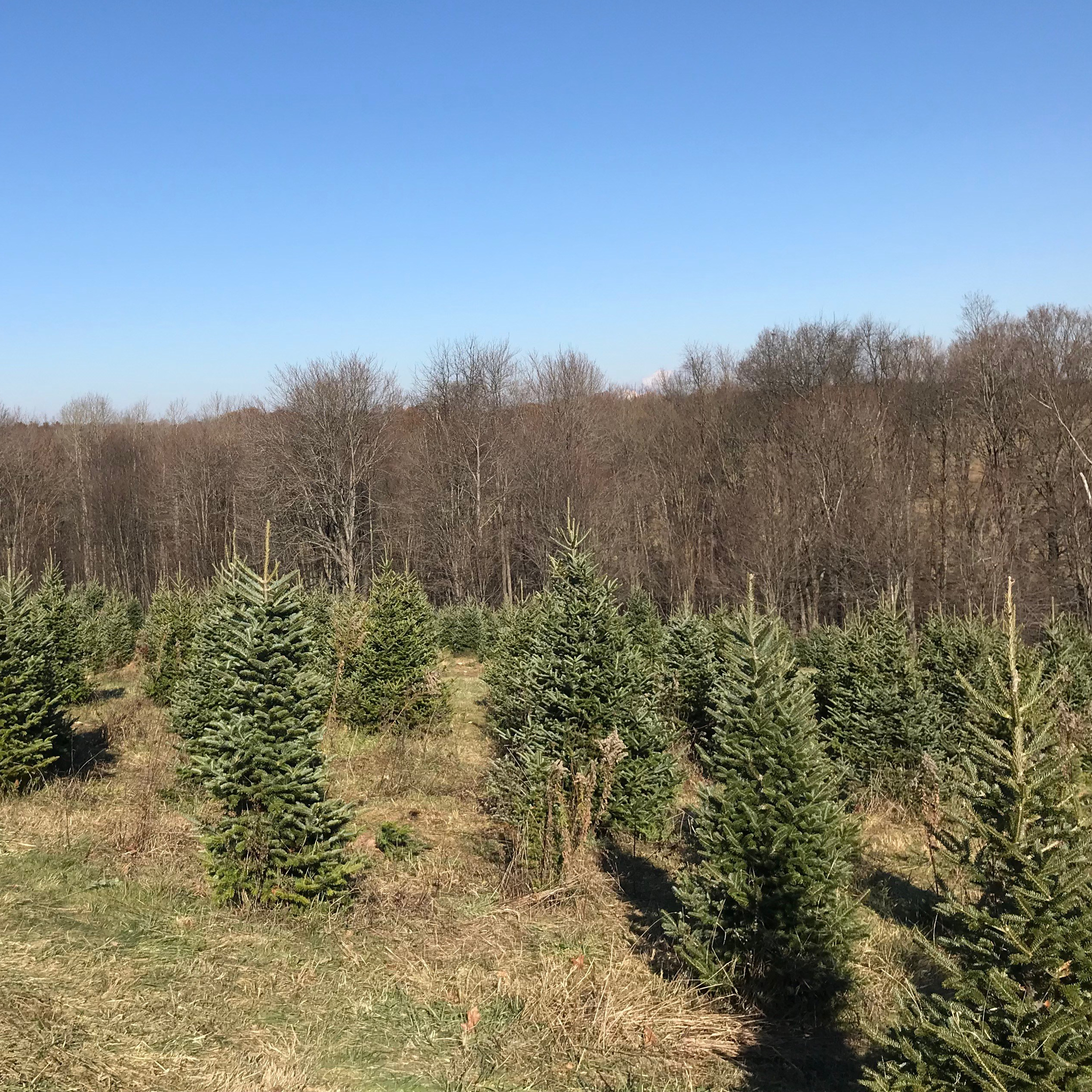 christmas-tree-farm.jpg
